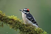 A Downy Woodpecker Bobs Woods ODFW 200px