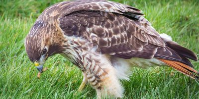 A Red-Tailed Hawk Eating a Caterpillar