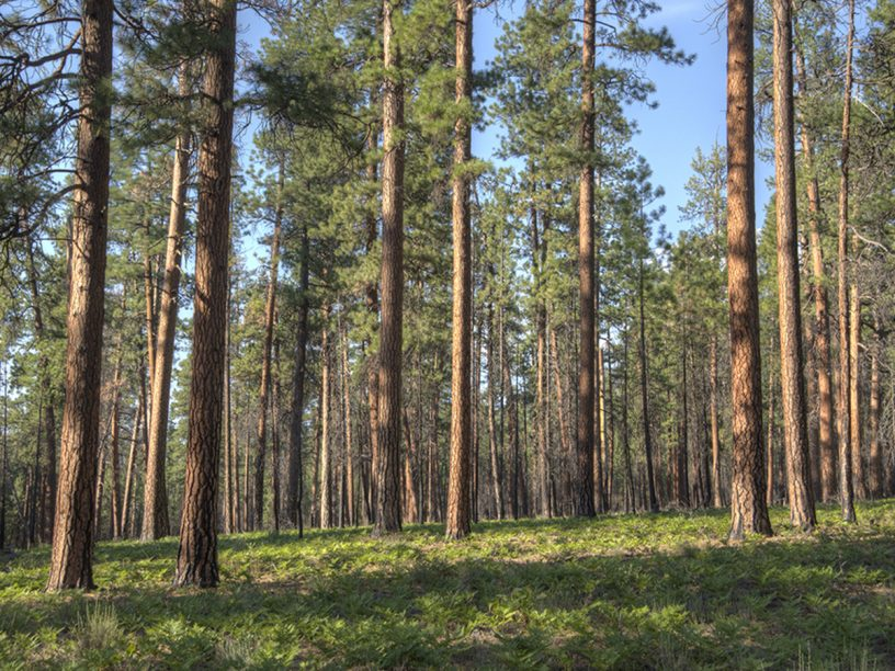 Forest of Ponderosa Pine Trees