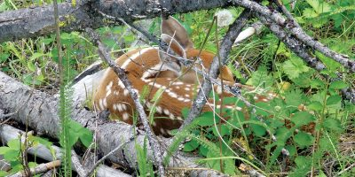 Picture of fawn under branches