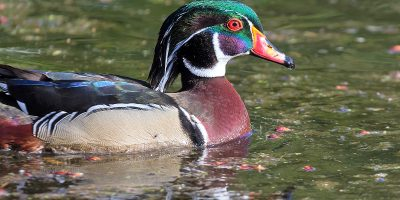 Wood Duck Male Swimming