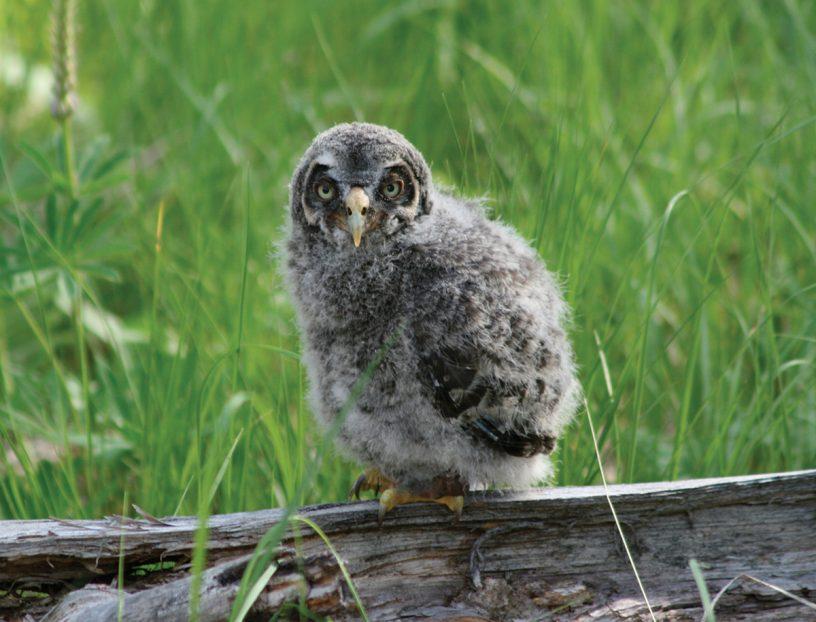 Juvenile Gray Owl