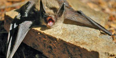 Keens myotis bat