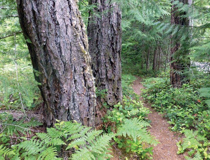 Mature Douglas fir